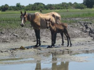 Mare with foal in salt marsh